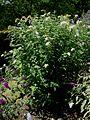 LS Buddleja davidii 'White Wings', plant.jpg