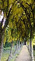 Laburnum Arch at Cawdor Castle - geograph.org.uk - 469933.jpg