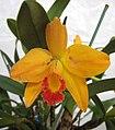 Laelia milleri x Sophrocattleya Beaufort -香港青松觀蘭花展 Tuen Mun, Hong Kong- (26163294594).jpg