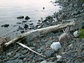 Lake Superior flotsam near Jones Landing.JPG