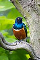 Lamprotornis superbus -London Zoo, England-8a.jpg