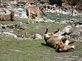 Langtang River Donkey.jpg
