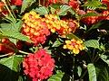 Lantana camara 'Luscious Citrus Blend', Morris Arboretum 02.jpg
