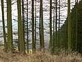 Larches, Pitmedden Forest - geograph.org.uk - 120458.jpg
