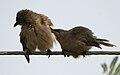 Large Grey Babbler (Turdoides malcolmi)- allopreening in AP W IMG 8038.jpg