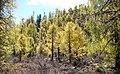 Larix potaninii forest Huluhai.jpg