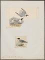 Larus philadelphia - 1700-1880 - Print - Iconographia Zoologica - Special Collections University of Amsterdam - UBA01 IZ17900282.tif