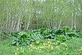 Latvāņi (Heracleum), Gaiļbiksītes (Primula veris L.), Baltalkšņi (Alnus incana (L.) Moench), Īves pagasts, Talsu novads, Latvia - panoramio.jpg