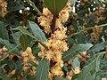 Laurus nobilis g2.jpg