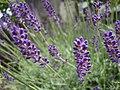 Lavanda nana (Lavandula angustifolia var. Hidcote blue) (7996218850).jpg