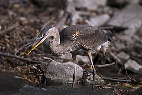 A heron eating a small fish, their main prey.
