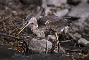 Great blue heron - Eating a small fish, the main prey