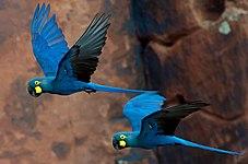 Lear%27s Macaw Anodorhynchus leari (cropped).jpg