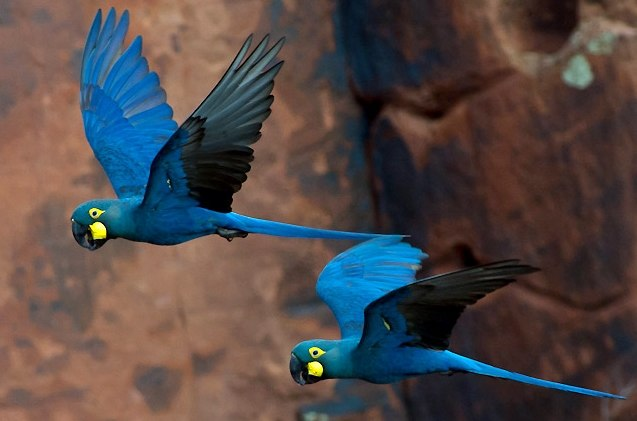 Lear%27s Macaw Anodorhynchus leari (cropped)