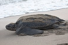 Leatherback Sea Turtle (17665415746).jpg