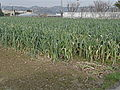 Leek field in Italy 2.jpg