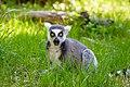 Lemur (39822796120).jpg