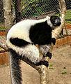 Lemuridae bwruffedlemur.jpg