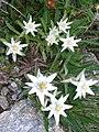 LeontopodiumAlpinum-1.jpg