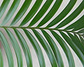 Lepidozamia Peroffskyana leaf.jpg