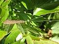 Leptoceridae indet. (Leptoceridae) - (imago), Arnhem, the Netherlands.jpg