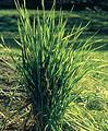 Les Plantes Cultivades. Cereals. Imatge 3201.jpg