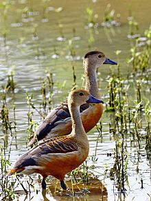 Lesser Whistling Ducks.jpg