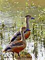 Lesser Whistling Ducks.jpg