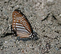 Lesser Zebra (Pathysa macarens) at Samsing, Duars, West Bengal W IMG 6405.jpg