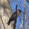 Lewis's Woodpecker (10910536524).jpg