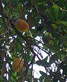 Licania tomentosa (Fruits).jpg