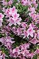 Light pink azaleas (48839366522).jpg
