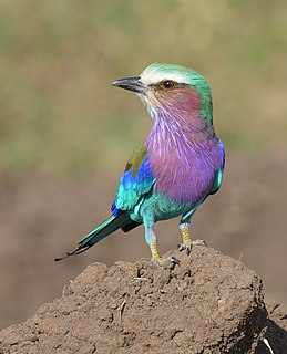 Lilac-breasted roller species of bird