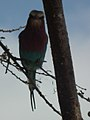 Lilac breasted roller in Tanzania 0472 cropped Nevit.jpg
