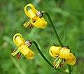 Lilium albanicum (31418489818).jpg