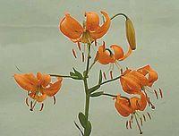 Lilium amabile