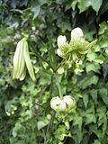 Lilium fargesii.jpg