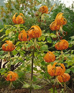 <i>Lilium humboldtii</i> species of plant