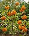 Lilium humboldtii2.jpg
