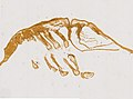 Limulus polyphemus (YPM IZ 098242) 002.jpeg