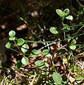 Linnaea borealis w PNBT 03.07.10 p.jpg
