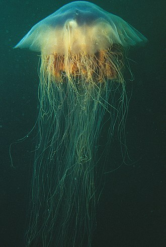 Lion's mane jellyfish - Image: Lion's mane jellyfish, or hair jelly, Cyanea capillata, the largest know jellyfish in Newfoundland, Canada. (21390221575)