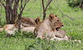Lions resting in the shade from the late morning sun. (13945883744).jpg