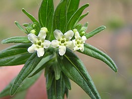 Lithospermum officinale2.JPG