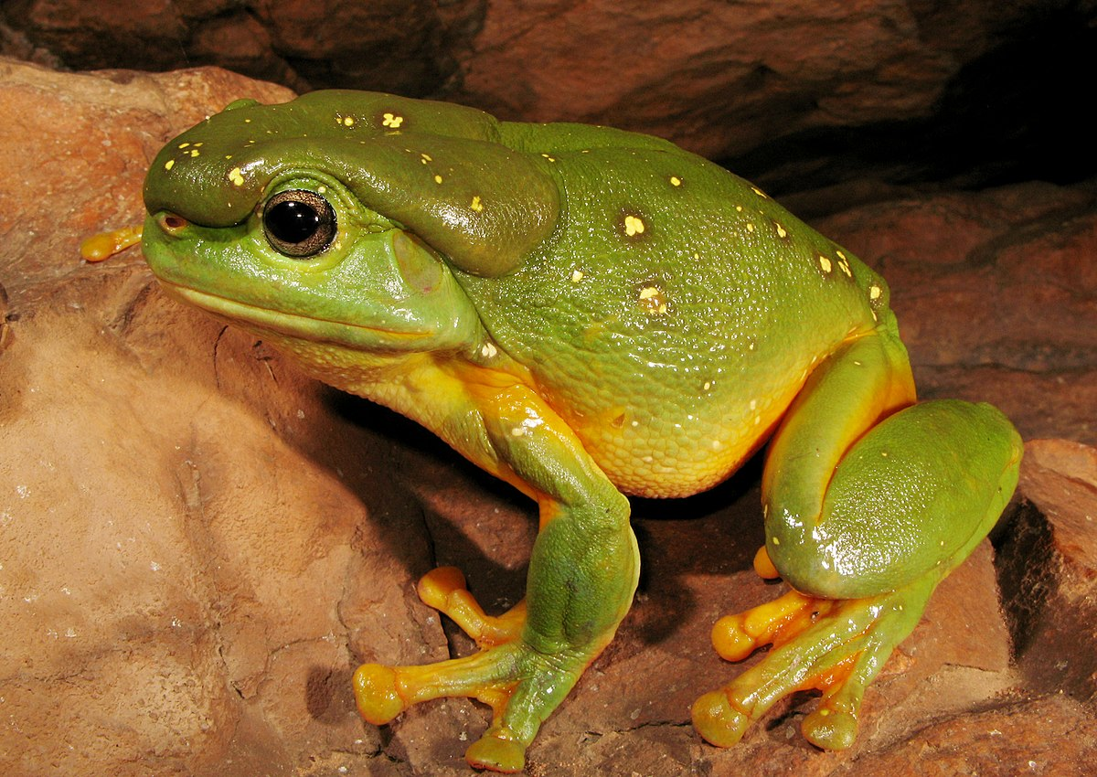 Image Result For Free Tree Frog