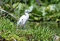 Little Blue Heron (juvenile) (35429828882).jpg