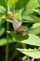 Little Wood Satyr (Megisto cymela) - Mississauga, Ontario 02.jpg