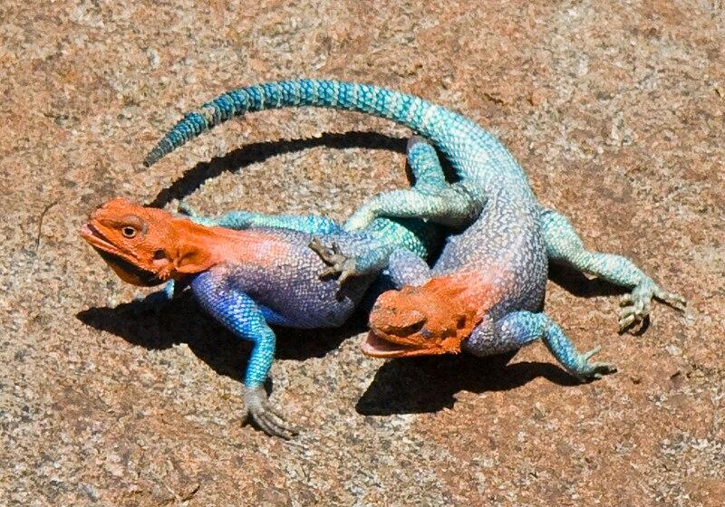 Lizard Fight