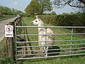 Llama at Shernal Green - geograph.org.uk - 466830.jpg