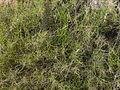 Llistonar (Brachypodium retusum) 1 de maig de 2009 046.jpg